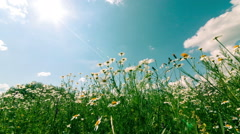 White and Yellow Daisies, on sky background Stock Footage