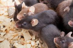 group of mice - stock photo