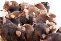 Group of mice Stock Photos