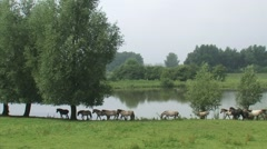Herd of konik horses moving in a row, following the leading mare Stock Footage