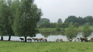 Stock Video Footage of Herd of konik horses moving in a row, following the leading mare
