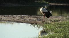 White Stork / Cigogne blanche / Ciconia ciconia 03 Stock Footage