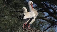 White Stork / Cigogne blanche / Ciconia ciconia 04 Stock Footage