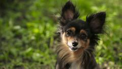Moscow Toy Terrier Looking at the Camera Stock Footage