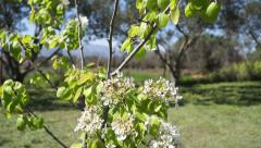 Flowering pear tree Stock Footage