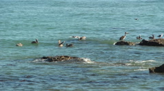 Pelicans Courting On Rocks - stock footage