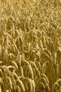 Wheat background Stock Photos