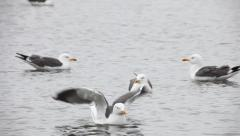 Lesser Black-backed Gull / Goéland brun / Larus fuscus 02 Stock Footage