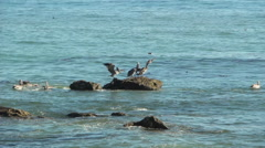 Pelicans Courting On Rocks Stock Footage
