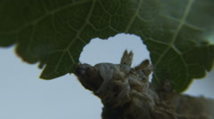 Silkworm eats mulberry leaf 1 Stock Footage