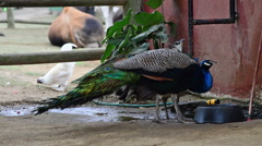 A Male Peacock and Female Peahen Drink at a Water Bowl, HD, 1080 Stock Footage