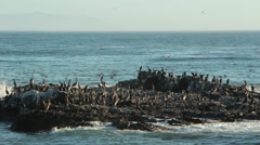 Thousands of Tern migrate along the coast past Pelicans on rocks - stock footage