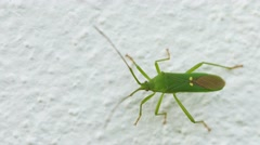 Green shield bug on the wall close-up. insects of thailand Stock Footage