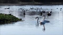 Stock Video Footage of Swan courtship display