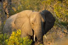 African elephant with large flapping ears Stock Photos