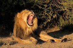 Male African lion yawning Stock Photos