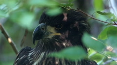 Eagle, Bald Eagle, Fledgling, Juvenile, 4K, UHD Stock Footage