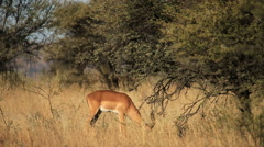 Feeding impala antelope Stock Footage