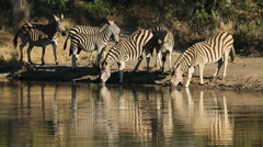 Plains Zebras at waterhole, African wildlife safari, South Africa Stock Footage
