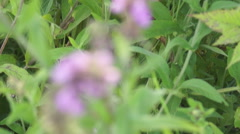 Flowers sage Stock Footage
