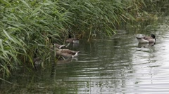 Canada geese searching food among rushes Stock Footage