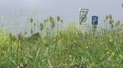 Common Teasel and Black Mustard in bloom along roadside Dutch river dike Stock Footage