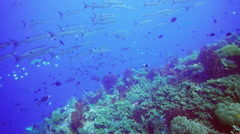 Barracuda school and coral reef Stock Footage