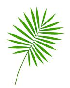 Beautiful green palm leaf isolated on white Stock Photos
