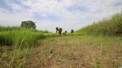 Thai farmers transplanting rice seedlings , Editorial video Stock Footage