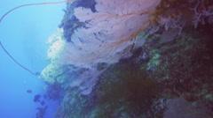 Red sea fan Stock Footage