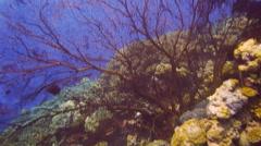 Huge sea fan Stock Footage