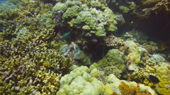 Parrotfish feeding Stock Footage