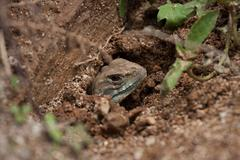 A close up of common butterfly lizard in the hole Stock Photos