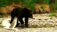 Alaskan Black bear catching salmon in the Russian river Stock Footage