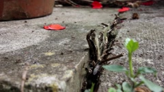 Ants leaving their nest, close up Stock Footage