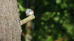 The bird called Eurasian Nuthatch Stock Footage