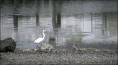California Bodega Bay heron wading Stock Footage