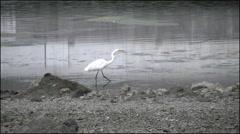 California Bodega Bay heron stalking Stock Footage