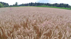 Fast aerial flight over wheat Stock Footage