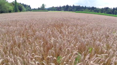 Low flight over wheat Stock Footage