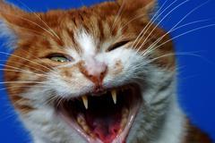 Fangs wild ginger cat Stock Photos