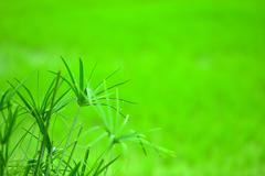 papyrus plant - stock photo