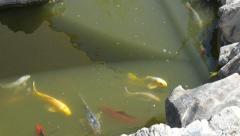 Koi Fish in Serene Pond Stock Footage