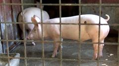 Swine enclosure Stock Footage