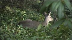 Oregon deer in ivy sun on head 4k Stock Footage