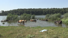 Cows in water lake, defending by gadfly and powerful sunlight, meadow and forest Stock Footage