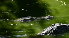 Crocodile or alligator dipping in river Stock Footage