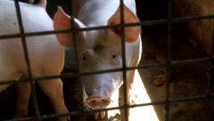 Swine close view Stock Footage