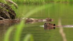 Stock Video Footage of Alaskan beaver swimming in remote beaver dam