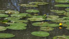 Bright green Lilly pad's on lake Stock Footage